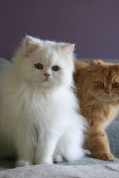 Persian (Traditional Persian Cat)