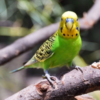 Common Budgerigar