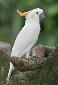 Citron Crested Cockatoo