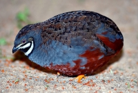 Chinese Painted Quail