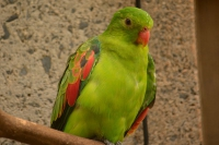 Crimson Winged Parakeet